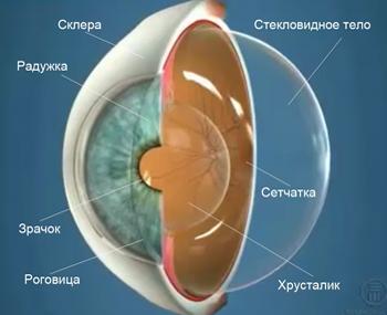 Строение глаза. Стекловидное тело
