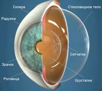 Анатомия глаза. Стекловидное тело
