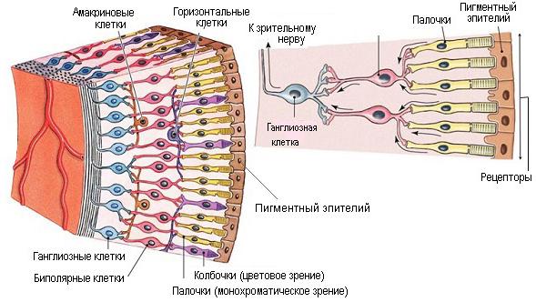 Строение сетчатки. Фоторецепторы